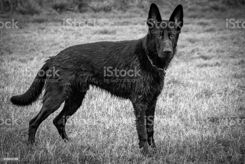 The German Shepherd dog stock photo