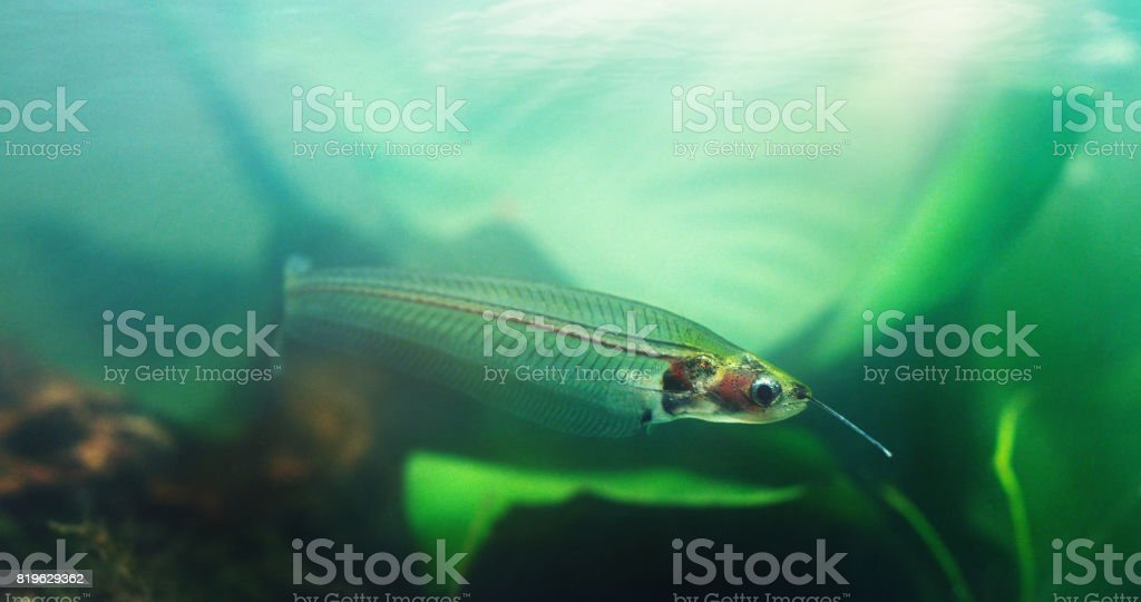 The ghost catfish can blend into almost any background stock photo