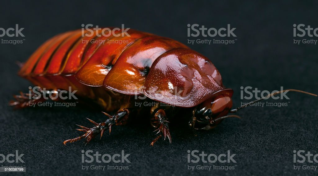 The Giant burrowing cockroach stock photo