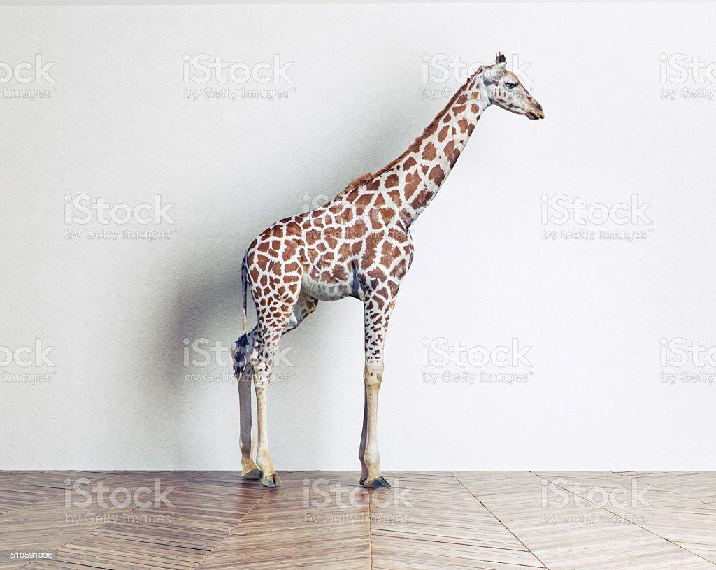 the giraffe baby stock photo
