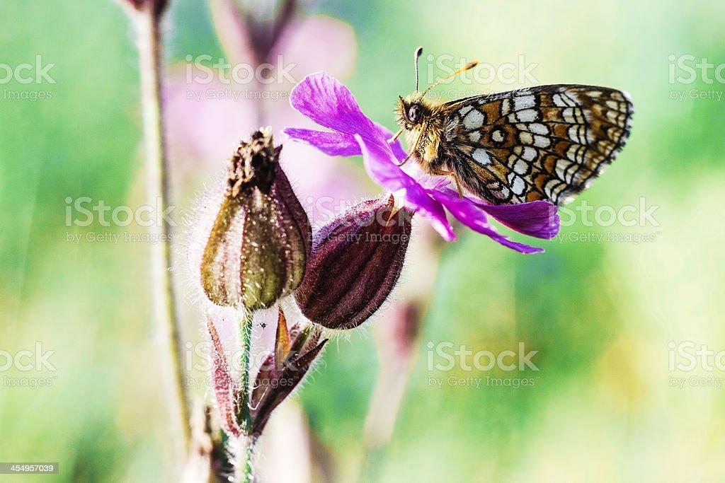 The Glanville Fritillary (Melitaea cinxia) royalty-free stock photo