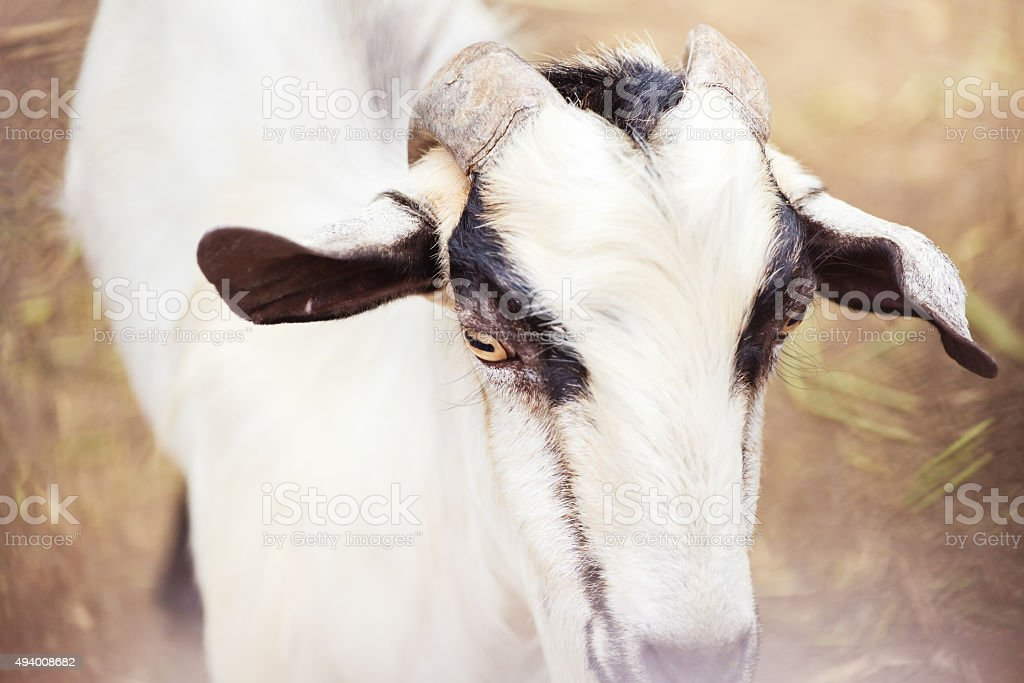 the goat is in the farm. stock photo