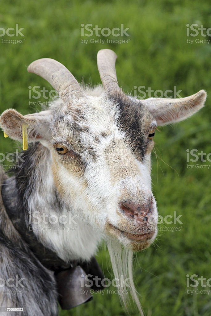 the goat stock photo