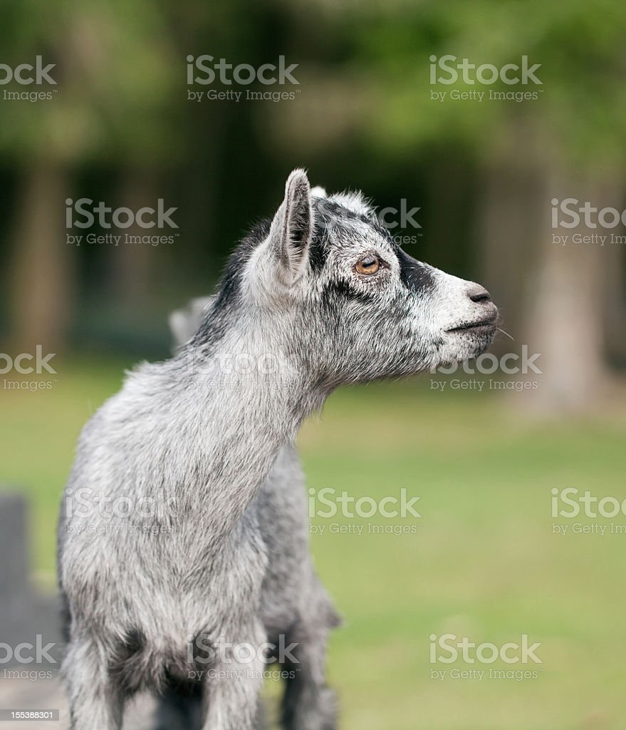 The goatling with grey hair stock photo