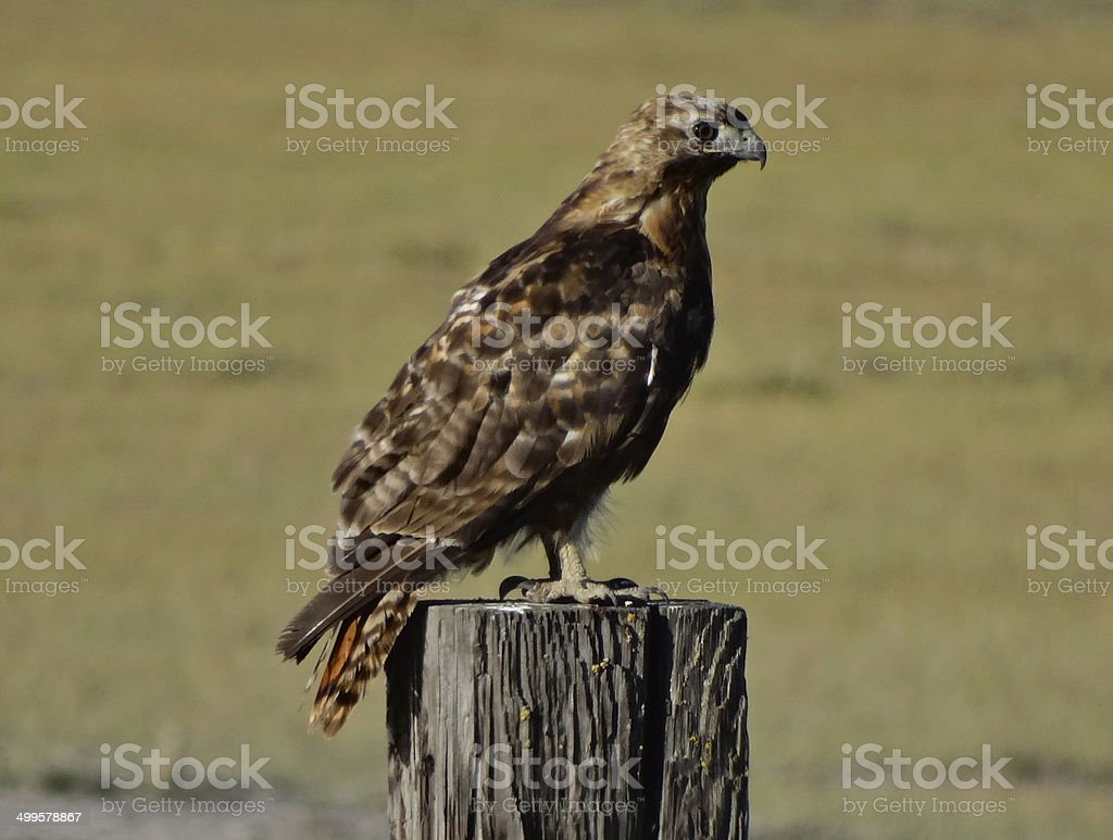 The Golden Eagle Hawk stock photo