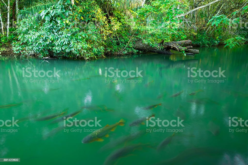 The Golden fish stock photo