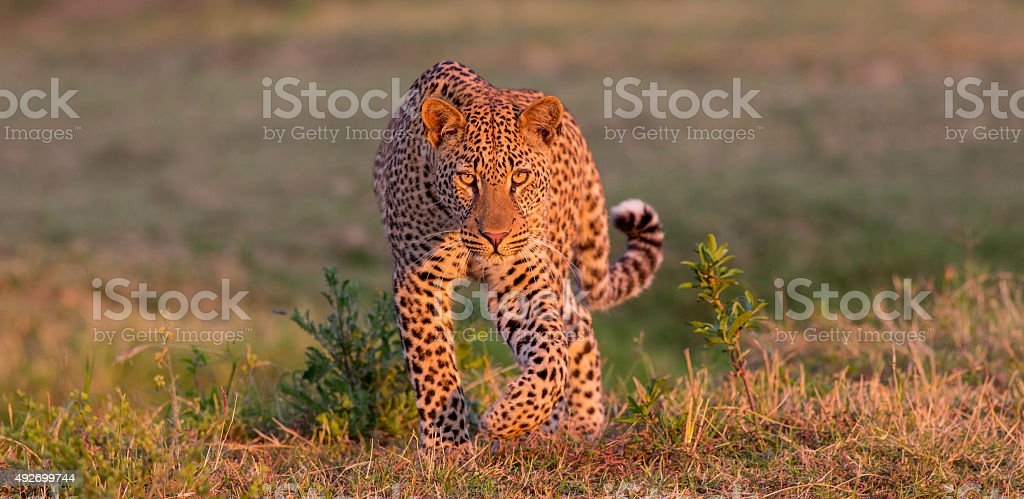 The Golden Leopard stock photo