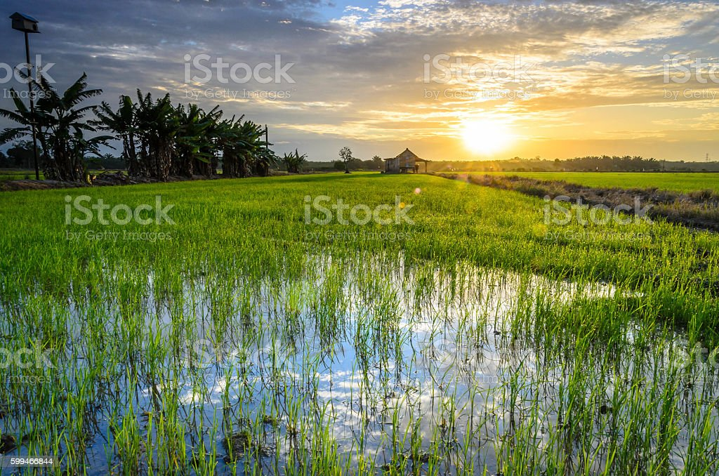 The Golden Paddy Field Sunrise stock photo