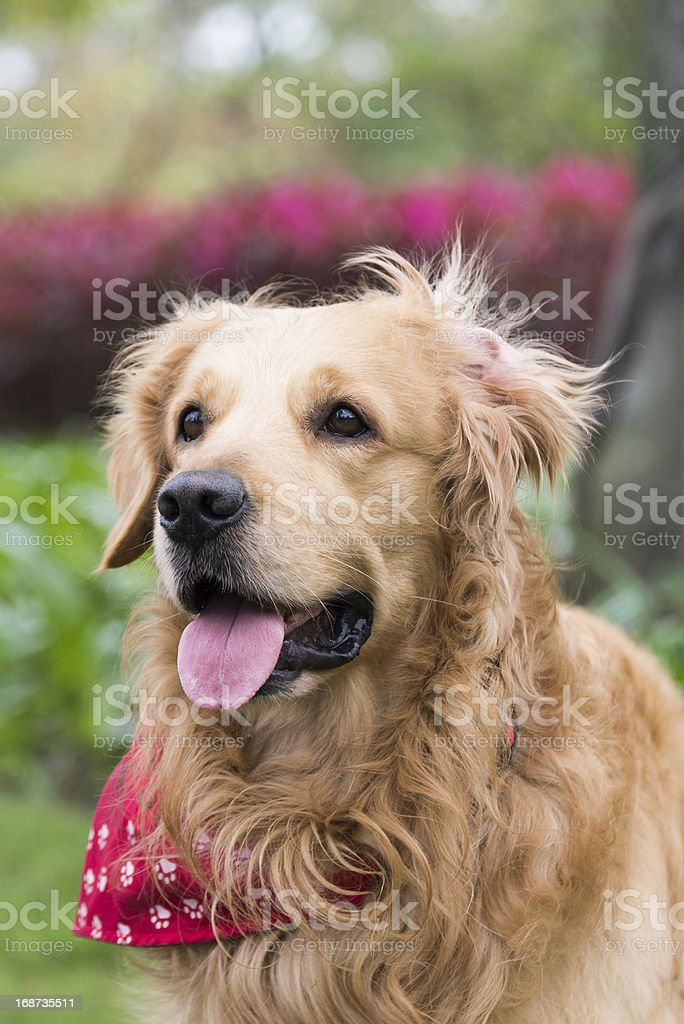 the golden retriever stock photo
