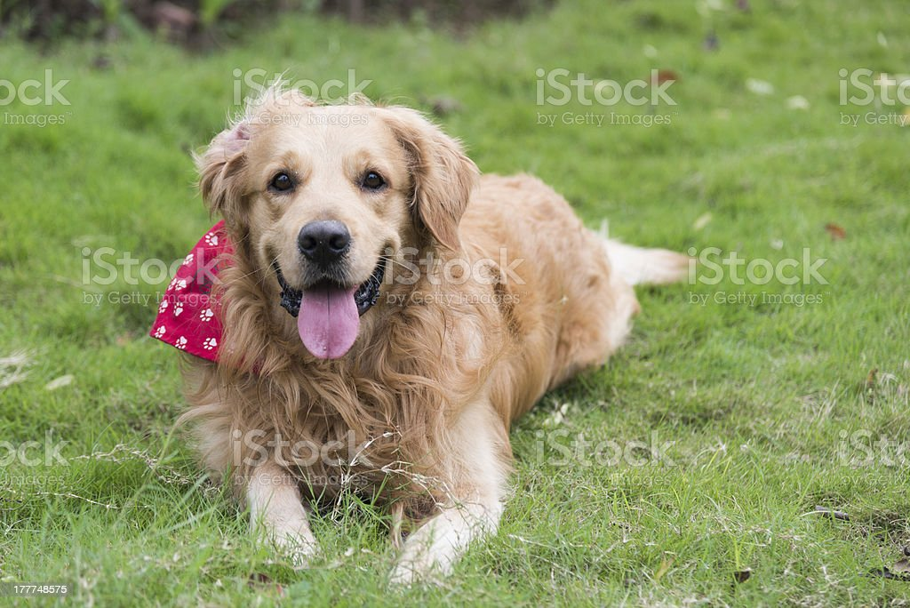 the golden retriever royalty-free stock photo