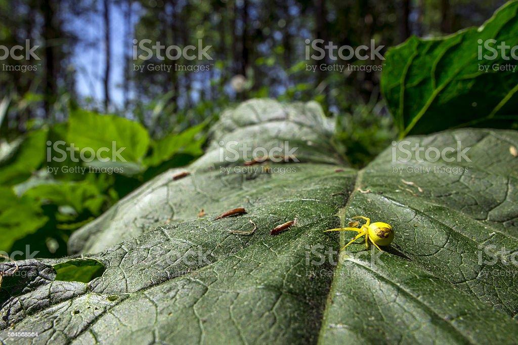 The goldenrod crab spider (Misumena vatia) stock photo