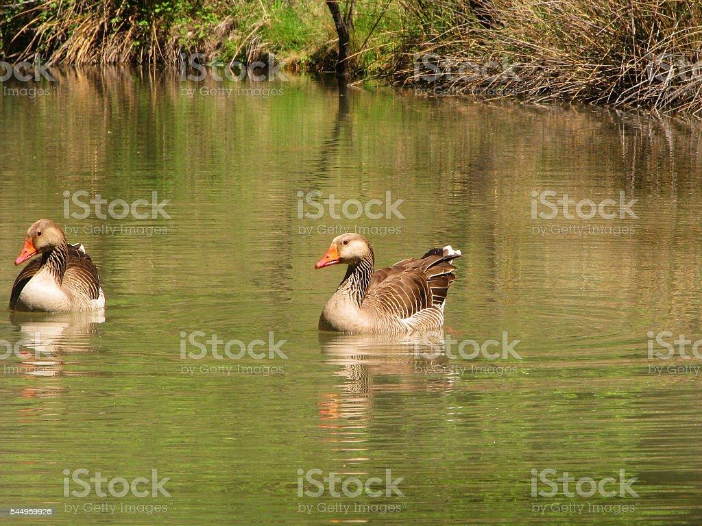 The Goose Couple stock photo