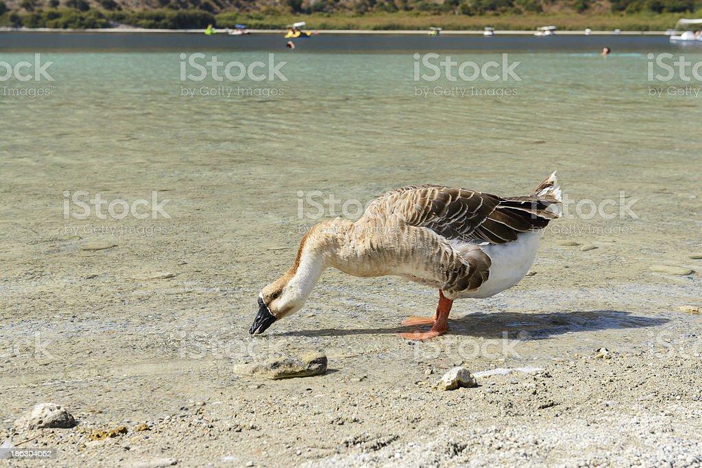The goose on freshwater lake Kournas. Crete. Greece stock photo