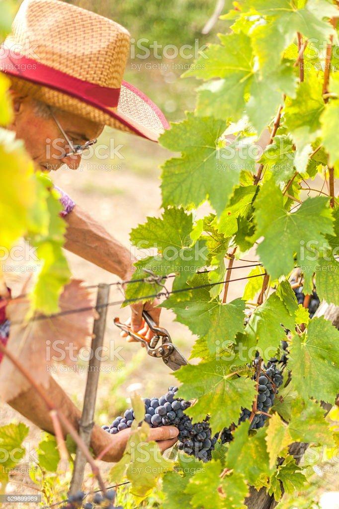 the grape harvest stock photo