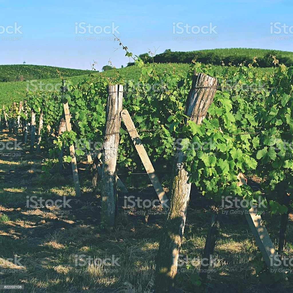 The grapes in the vineyard.Region of South Moravia Czech Republic. stock photo