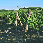 The grapes in the vineyard.Region of South Moravia Czech Republic.