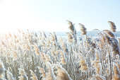 The grass in the frost.