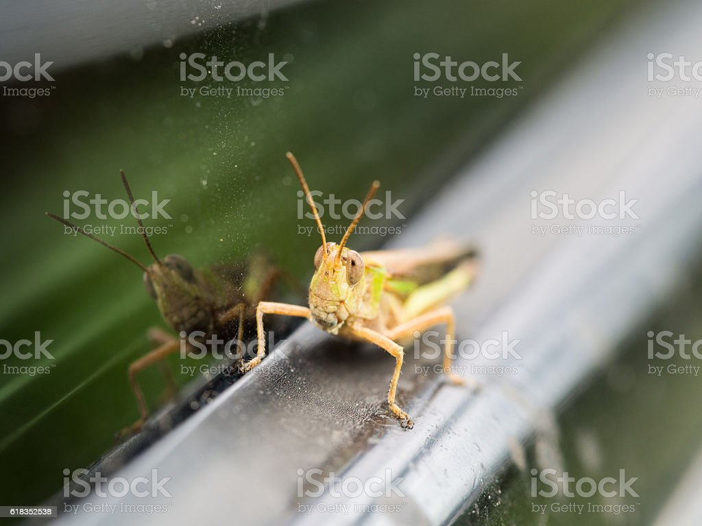 The Grasshopper Perched on The Car stock photo