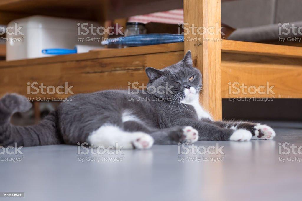 The gray British cat stock photo
