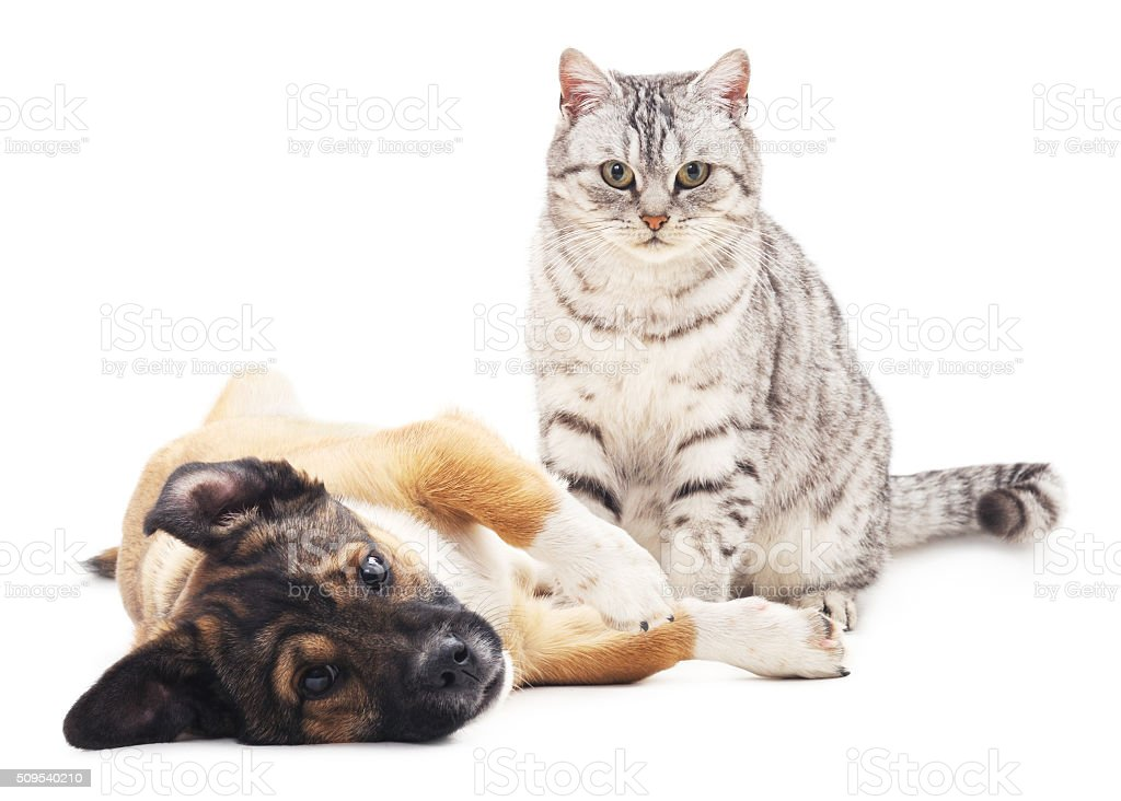 The gray cat and puppy. stock photo