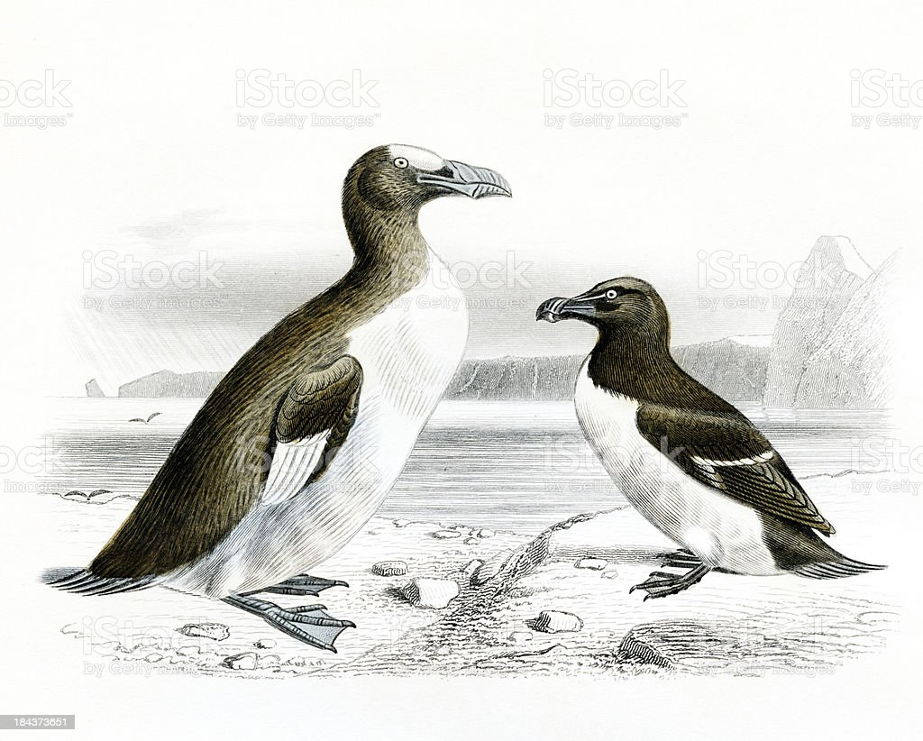 The Great and little Auk, Penguin, scientific Illustration, 1850 royalty-free stock photo