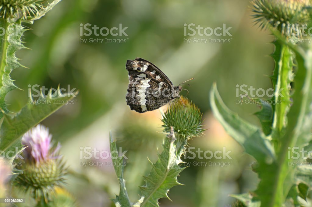 The Great Banded Grayling butterfly - Brintesia circe on teasel flower stock photo