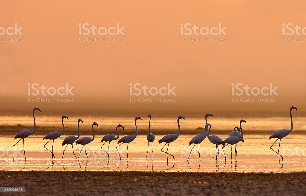 the great flamingoes stock photo