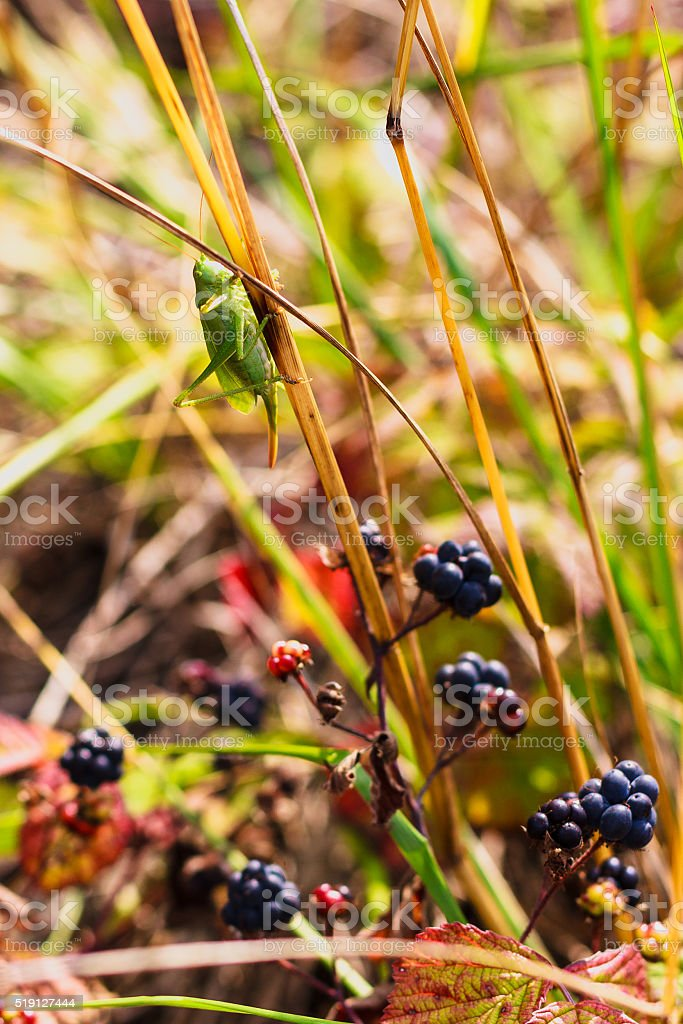 The Great Green Bush-Cricket stock photo