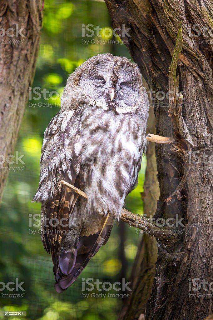The Great Grey Owl or Lapland Owl, Strix nebulosa stock photo
