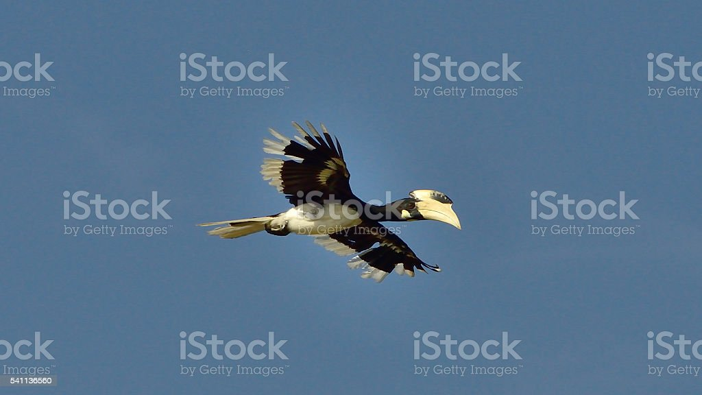 The great hornbill (Buceros bicornis) in Yala National Park. stock photo