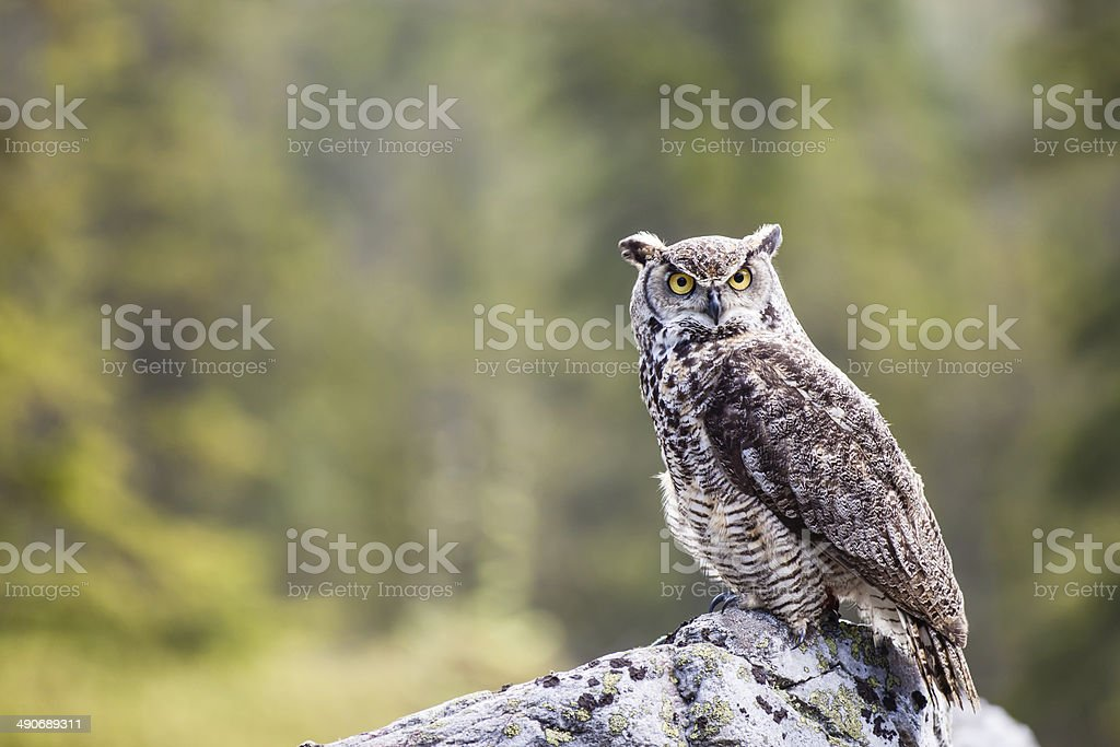 The Great Horned Owl Bubo virginianus stock photo