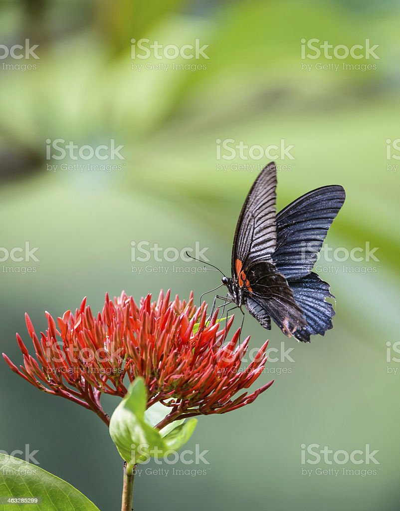 The Great mormon butterfly on red flower stock photo
