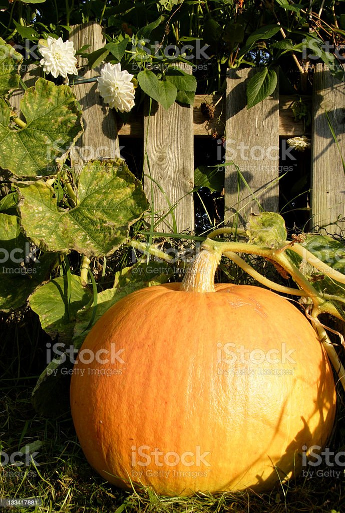 The great pumpkin royalty-free stock photo
