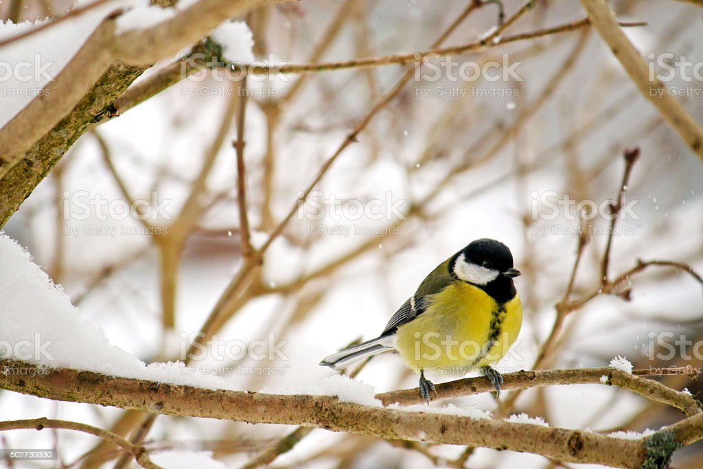 The Great tit bird perching on a tree stock photo