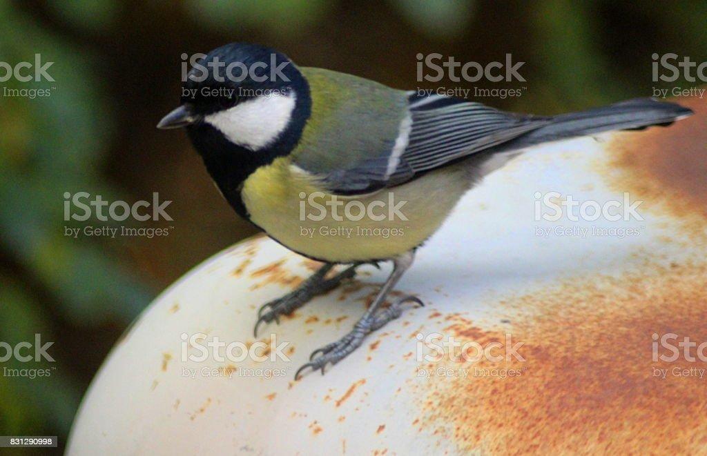 The great tit (Parus major) stock photo