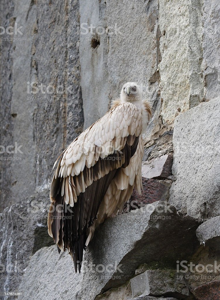 The great white eagle royalty-free stock photo