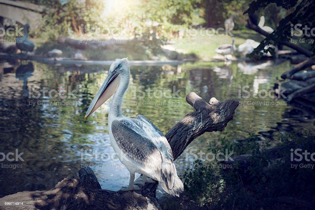 the great white pelican near river stock photo