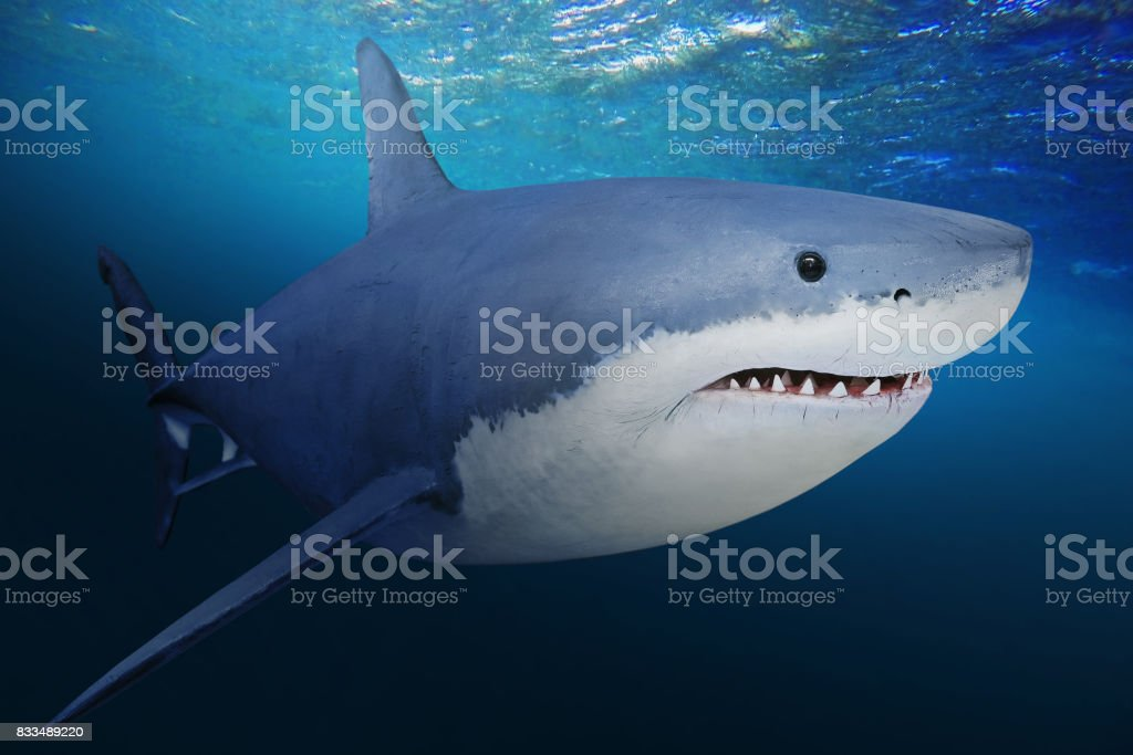 The Great White Shark - Carcharodon carcharias. stock photo
