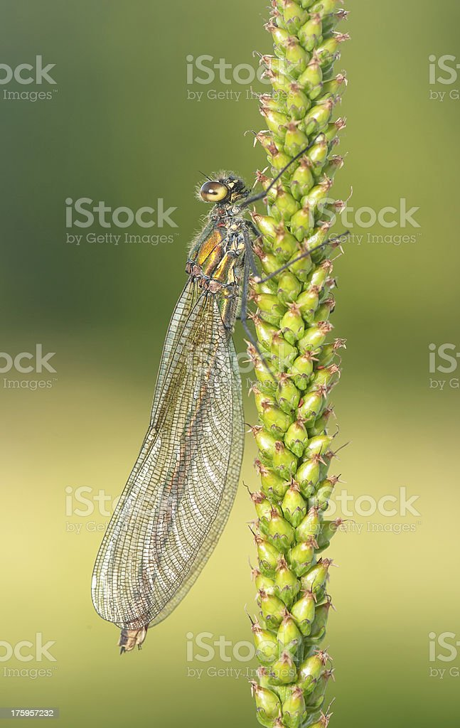 The Greater Damsel stock photo