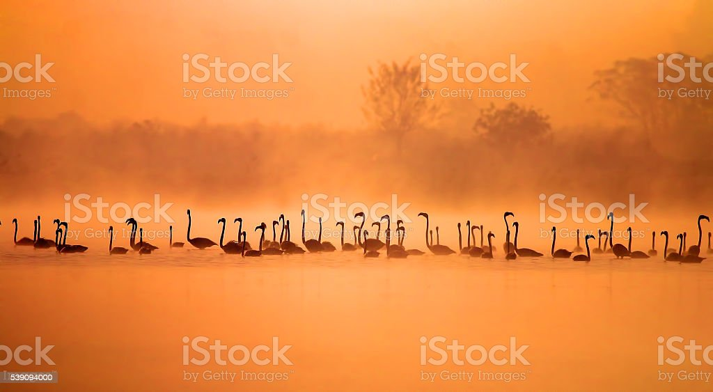 The greater flamingoes stock photo