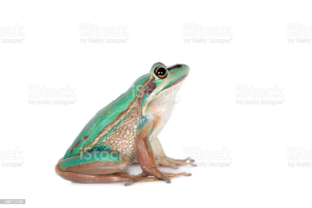 The green and golden bell frog on white stock photo