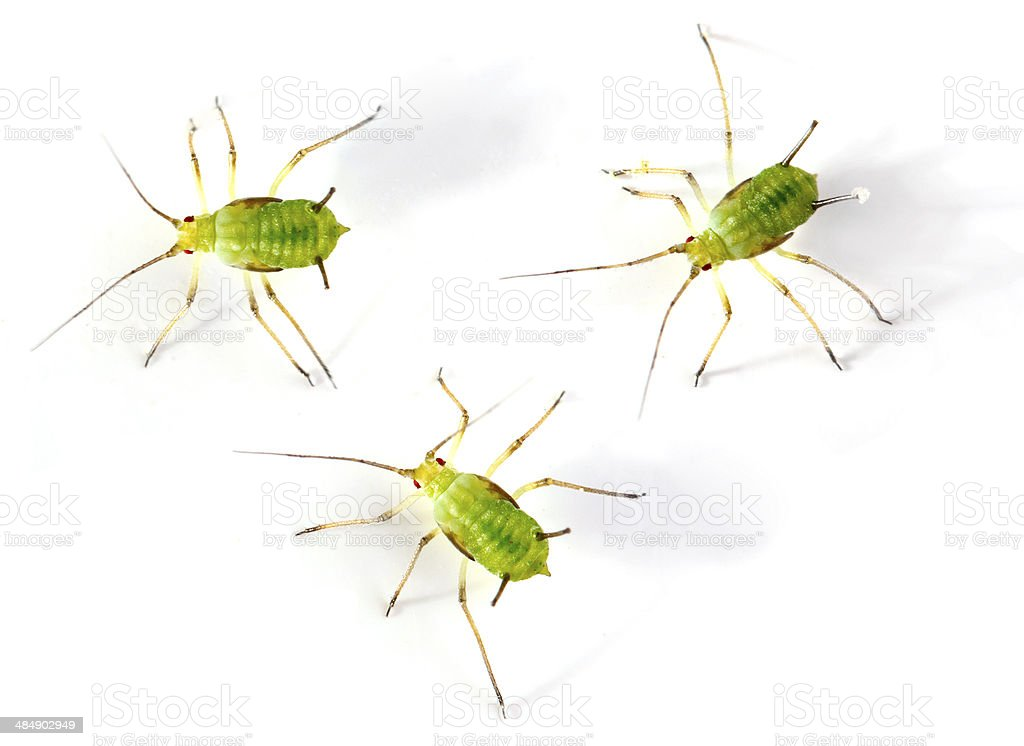 The Green aphids. royalty-free stock photo