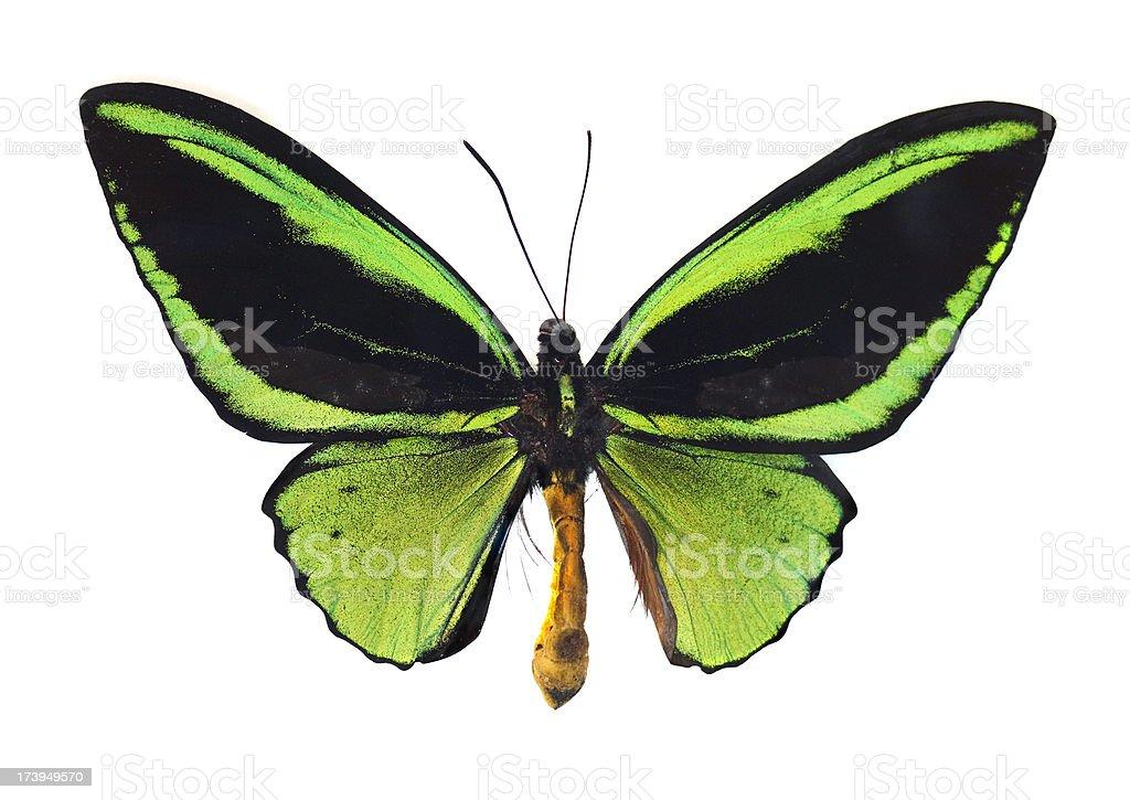 The Green Birdwing stock photo