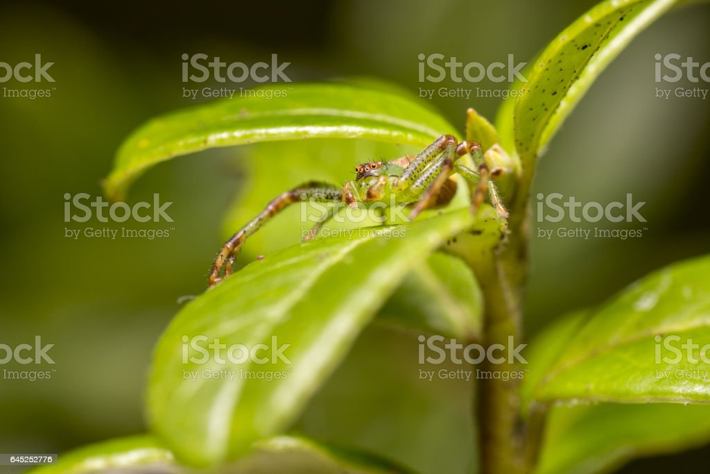 The Green Crab Spider stock photo