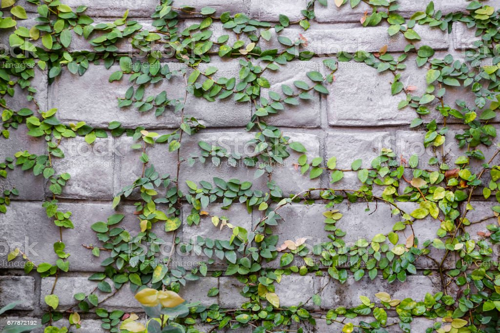 The green creeper plants on the wall background stock photo