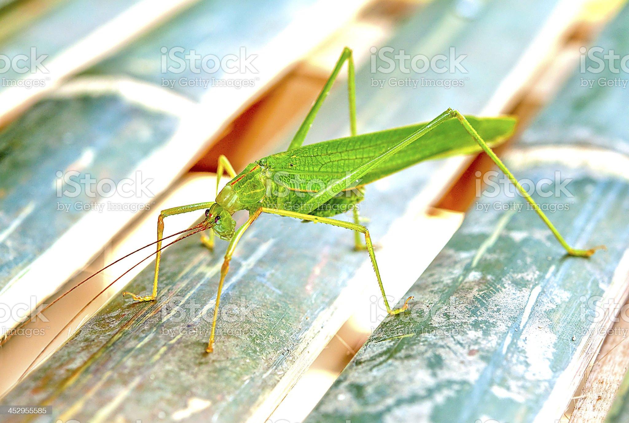 The Green grasshopper royalty-free stock photo