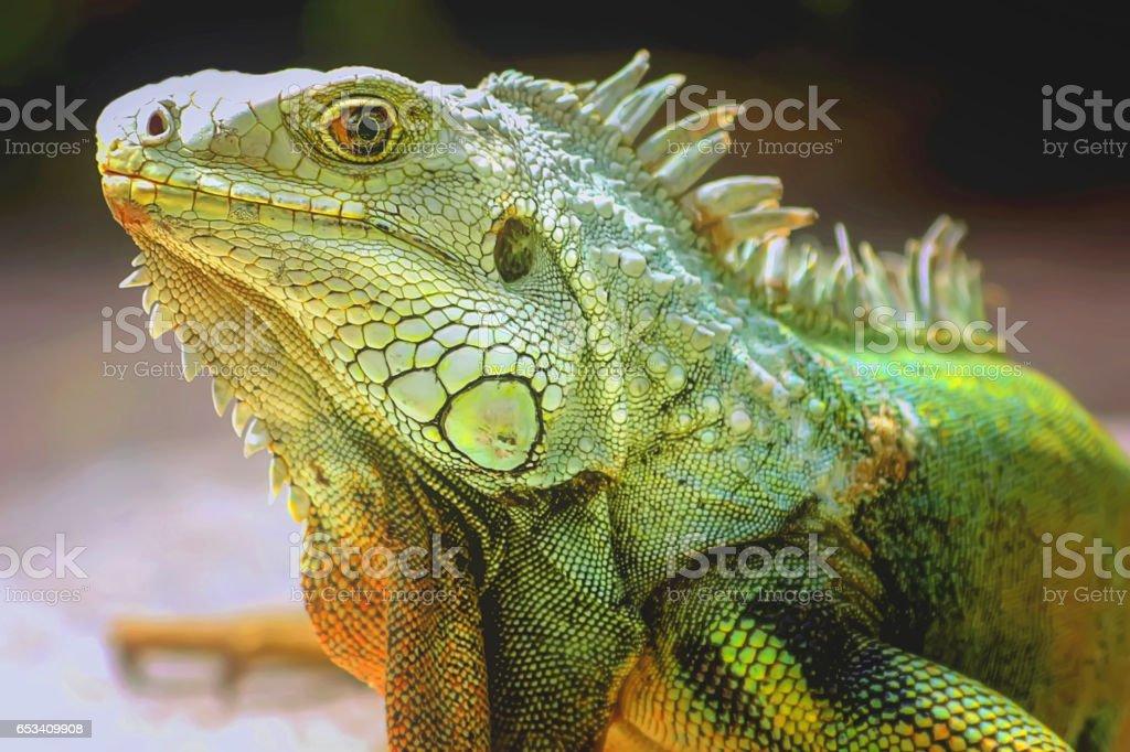 The Green Iguana lizard. stock photo
