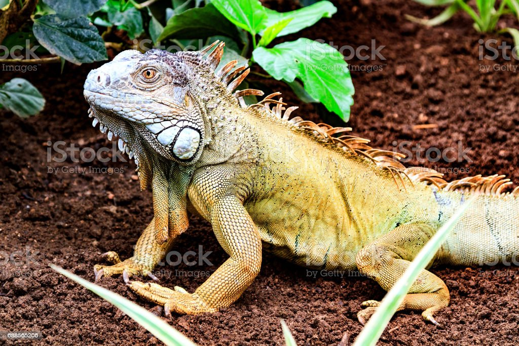 The green iguana stock photo