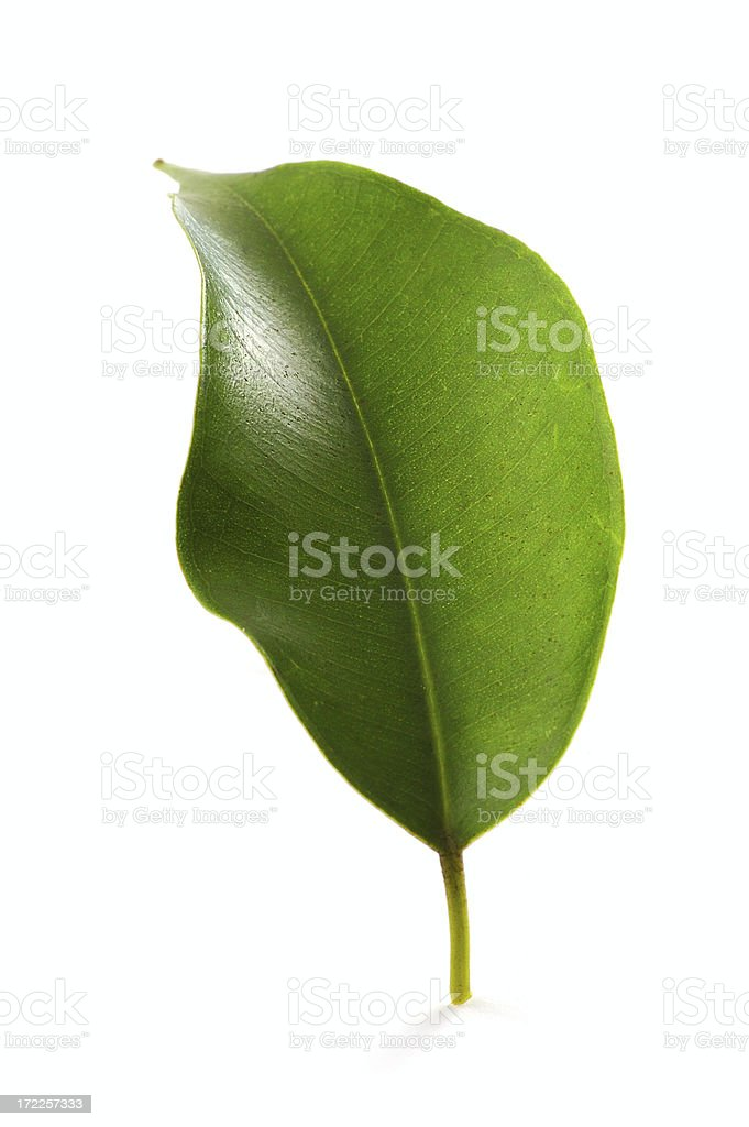 the green leaf royalty-free stock photo