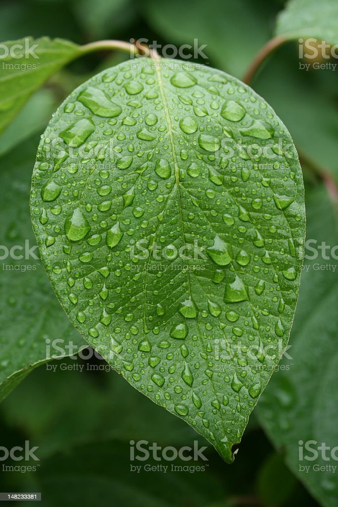 The green leaf withe water-dribbles. royalty-free stock photo